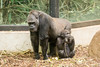 2017-11-14-12h07m23.BL7R2487 (A.J. Haverkamp) Tags: canonef100400mmf4556lisiiusmlens shae shindy amsterdam noordholland netherlands zoo dierentuin httpwwwartisnl artis thenetherlands gorilla sindy pobrotterdamthenetherlands dob03061985 pobamsterdamthenetherlands dob21012016 nl