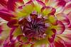 Dahlia intime 001 (letexierpatrick) Tags: fleur flower flowers fleurs floraison jardin garden botanique couleur couleurs colors coeurdefleurs macro extérieur nikon nikond7000 nature dahlia