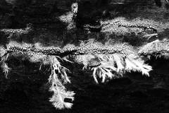 Mycelium (De Rode Olifant) Tags: mycelium fungus mushroom nature marjansmeijsters zwamvlok schimmel