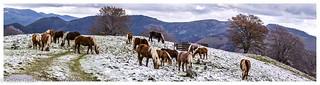 Chevaux dans la neige Panorama-Modifier