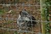 IMG_1332 (goaniwhere) Tags: wolf animal wolves wildanimal sanctuary