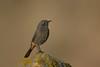 Black Redstart (Matt Scott Wildlife Photography) Tags: breandowncove somerset birds aves canon black redstart blackredstart