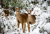 Out of Towners (Andy Marfia) Tags: wisconsin vilascounty north woods northwoods forest trees winter snow deer animal wildlife d7100 70300mm 1800sec f6 iso2000