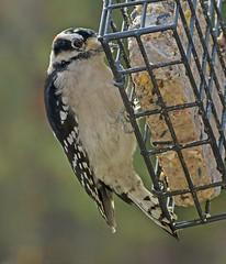 Downy Woodpecker male_10Nov2017 (Bob Vuxinic) Tags: bird downywoodpecker picoidespubescens male suetfeeder cumberlandplateau crossvilletn 10nov2017