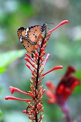 樺斑蝶    Danaus chrysippus (Alice 2018) Tags: 2017 hongkong bokeh white couple green butterfly canon canoneos7d eos7d nature canonef70200mmf4lisusm plant autumn red flower insect favorites50 aatvl01