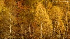 Glen Cannich Autumn (.Brian Kerr Photography.) Tags: scotland scottishlandscapes scottish scotspirit scottishhighlands scottishlandscape sony sonyuk a7rii photography photo outdoor opoty outdoorphotography onlandscape nature naturallandscape natural landscapephotography landscape briankerrphotography briankerrphoto tree trees autumn beautifulmorning treemagic golden colours birches birchtree birch forest wood