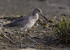 Willet (PrettyCranium) Tags: red bird birds animal animals nature wildlife san diego willet willets shorebird