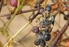 Late grapes (Vjekoslav1) Tags: grapes wine wasp bee autumn eat garden wineyard selnik maruševec croatia hrvatska fly muha osa pčela grožđe izabela vrt loza vinograd hrvatskozagorje