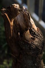 broken tree (Okera) Tags: 100mm 2017 styp007 summicron 散策