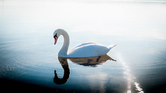 OKLM SWAN (GComS) Tags: water sea sky bird ocean swan cygne blanc white majestic majestueux bleu blue reflets reflect reflections sun soleil lac lake
