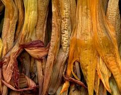 58622.29 Hemerocallis (horticultural art) Tags: horticulturalart hemerocallis daylily flowers goneby