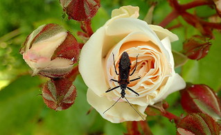 ASSASSIN BUG among the ROSES