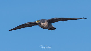 Peregrine Falcons of Alpine | 2107 - 27