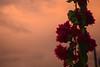 beyond (sevpalc) Tags: nature flower sky orange sunset graden rose peace