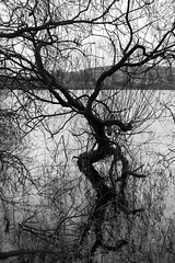 Gnarly Willow (ProspectMik) Tags: leedsliverpoolcanal pennines trees willow reservoir water reflection windy blackandwhite