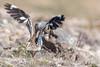 Eurasian Thick-knee or Stone-curlew (Burhinus oedicnemus)-6236 (Stein Arne Jensen) Tags: alcaraváncomún bird burhinidae burhinusoedicnemus canaryislands canonef100400f4556lisusm canoneos70d charadriiformes espagne espanya españa eurasianstonecurlew eurasianthickknee europa europe fugl grancanaria griel islascanarias kanarischeinseln kanariøyene laspalmas losgiles oedicnèmecriard pajaro paksujalka provinciadelaspalmas regenpfeiferartige spain spania spanien steinarnejensen stonecurlew tsn176749 thickknees triel triele trieler vademåkeogalkefugler vogel burhinidés burínidos lintu oiseau авдотка европа птица أوروبا यूरोप イシチドリ ヨーロッパ 歐洲 石鸻 鳥 鸟 유럽