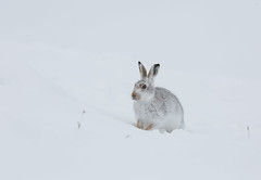 Mountain Hare (Nigey2) Tags: