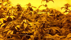 20150512_095026 (CannaPsy) Tags: hydroponics flood drain indoor medical cannabis marijuana weed horticulture high pressure sodium hps og