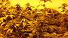 20150512_095026 (CannaPsy) Tags: hydroponics flood drain indoor medical cannabis marijuana weed horticulture high pressure sodium hps og