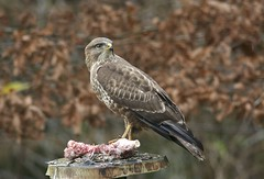 Buzzard, Buteo buteo (Ian Mc Farlane) Tags: common buzzard buteobuteo