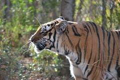 2017-1129 madonna tiger (4)