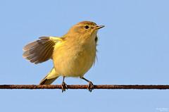 Felosa Comum - Chiffchaff - Phylloscopus collybita (Yako36) Tags: portugal peniche ave bird birdwatching nature natureza nikon200500 nikond7000