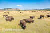 Herd of American Bison grazing in the grasslands, Grand Tetons National Park, Teton County, Wyoming (Remsberg Photos) Tags: grandteton jackson landscape mountains nationalpark tetons west wyoming colorimage grandtetonnationalpark beautyinnature tetonrange mountainrange rockymountains mountain nature westernusa jacksonhole americanbison americanbuffalo buffalo bisonbison horizontal outdoors skyline sky traveldesintations tourism tranquilscene majestic impressive noble elevated splendid grazing eating grasslands vast boundless broad expanse openspace animalwildlife animalsinthewild usa