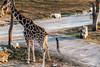 Giraffe Pee (jwfk) Tags: giraffe pee himeji safari zoo funny long neck nikon d5500