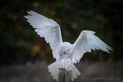 Touch down    Snowy Owl (Susan Newgewirtz) Tags: red wildlifephotography nikond850 outdoor ontario owl raptor white bird birdsofprey