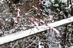 Berries In The Snow (Occulytus) Tags: schnee snow beeren berries winter tatenhausen ostwestfalen eastwestphalia natur nature