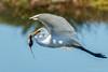 Great Egret (Bob Gunderson) Tags: alamedacounty ardeaalba arrowheadmarsh birds california eastbay egrets greategret northerncalifornia wadingbirds