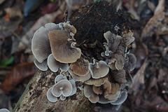 PB227453 Crepidotus sp. (razor4343) Tags: crepidotussp crepidotus arffungi arfp qrfp tropicalarf brownarffungi greyarffungi gillspores fungiingroups myblock crepidotaceae