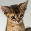 Ruddy Boy Portrait 4 (peter_hasselbom) Tags: cat cats kitten kittens 8weeksold portrait head flash 2flashes onwhite 105mm