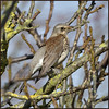 Fieldfare (image 1 of 3) (Full Moon Images) Tags: wimpole hall nt national trust wildlife nature bird fieldfare