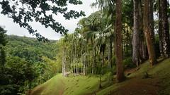 Le jardin de Balata 2 - Martinique (passionpapillon) Tags: paysage forêt arbre palmier jardin nature martinique balata passionpapillon 2017