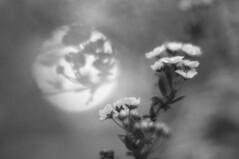 Spiraea (Patrice StG) Tags: bw noiretblanc blackandwhite nb bokeh gimp québec flower fleur vintage vintagelens 50mmf18d nikkor50mm18d
