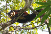 Black Giant Squirrel - Ratufa bicolor (Roger Wasley) Tags: blackgiantsquirrel ratufabicolor malayangiantsquirrel giantsquirrel mahananda wildlifesanctuary siliguri westbengal india mammal squirrels habitat nearthreatened endangers rare ratufa