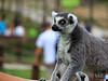 Lemur 🐒 (richárdjánosi) Tags: lemur animal zoo cute nature bokeh monkey veszprém hun hungary 55250 canon canon700d europe eyes summer tele