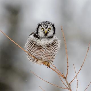 Northern Hawk Owl-45853.jpg