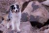 49/52 Desert Camo (Jasper's Human) Tags: 52weeksfordogs 52wfd desert southmountainpark aussie australianshepherd bluemerle