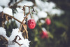 Snowy poison berries growing on an evergreen bush (david.tkachuk) Tags: green cold winter snow snowy nature outside outdoors storm cool tree trees bush shrub pine pinecone evergreen plant white photography weather natural frozen natur schnee morning colours red poison berries berry