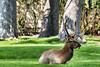Elk (deepskywim) Tags: wapitihert dieren zoogdieren yellowstonenationalpark wyoming unitedstates us