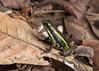 Pale-striped Poison Frog (Tris Enticknap) Tags: amphibians frog palestripedpoisonfrog ameregatribitata peru manubiospherereserve manunationalpark amazonbasin