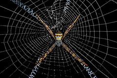 In full glory! (chandra.nitin) Tags: animal argiope argiopeanasuja deerpark indiansignaturespider insect macro nature outdoor spider web wildlife newdelhi delhi india