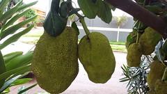 Jaca  //  Jackfruit (Eco.Natu) Tags: jaca artocarpus heterophyllus frutapão folhas jaqueira plantas árvore nativa ásia índia brasil jackfruit verde green tree