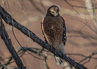 Red-shouldered hawk in the mornings light