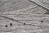 Lines (Manon van der Lit) Tags: laos luang nam tha oudomxay watermellon field agriculture blackandwhite bw working workers abstract asia watermelon farmers