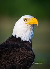 Close Encounter (lancescapes photography) Tags: nature wildlife animals birds eagles bald idaho