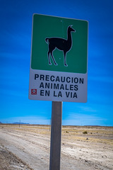 It's the real deal.  No cows on the road in these parts, just llamas.