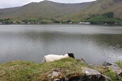 IMG_3286 (avsfan1321) Tags: ireland killaryfjord countygalway countymayo connemara wildatlanticway fjord lake water sheep